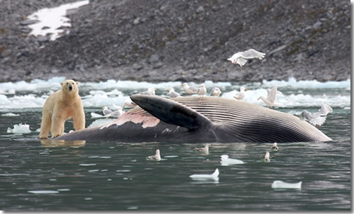 A polar bear eating a fin whale in Spitsbergen, Svalbard, Norway. (Photo courtesy of Heiko Keuhr.)