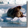 A walrus chilling on an iceberg in Spitzbergen, Svalbard, Norway.