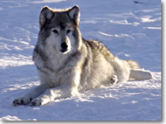 Since 1995, the Greater Yellowstone region has become home to the highest concentration of wolves in the world.