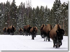 Yellowstone National Park is home to America's last remaining herd of truly wild bison.
