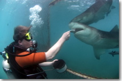 Giving herring to a lemon shark—and thanks to the inventor of Plexiglas.
